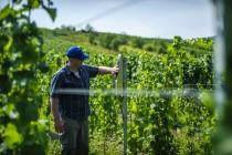 Settore vitivinicolo: il sostegno della Regione Lazio